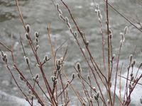 大雪のち春。 - 大朝=水のふる里から