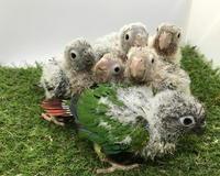 ウロコインコの雛たち雛だんご - お店のインコたち