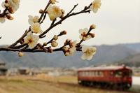 梅の花が咲き始めました - 今日も丹後鉄道