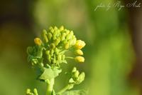 菜の花 - Ryu Aida's Photo