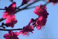 赤い梅 - Ryu Aida's Photo