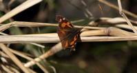2018春が来たその1 - 紀州里山の蝶たち