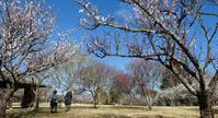 昭和の森で梅の花を観賞 - テニスのおじさま日記