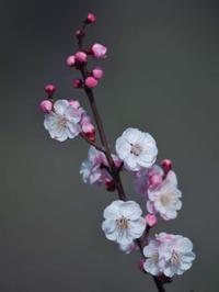梅が遅いからって桜開花が遅れるわけじゃないよ - 1/365 - WEBにしきんBlog