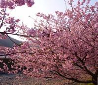 河津桜ただ今満開。まつりは3月10日まで - 白壁荘だより  天城百話