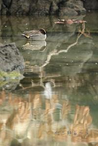 コガモ - 北の野鳥たち