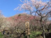 湯河原町 今が満開の幕山公園の湯河原梅林     Plum blossom at Makuyama Park in Yugawara, Kanagawa - やっぱり自然が好き