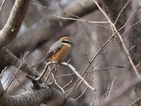 公園のモズ - コーヒー党の野鳥と自然 パート2