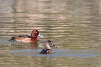 メジロガモ・クビワキンクロ珍鳥の二重奏 - 野鳥公園