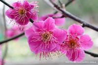 開花した紅梅 - azure 自然散策 ~自然・季節・野鳥~