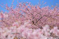 櫻の園 - ひつじ雲日記