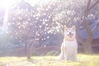 スマイルンコと梅の花 - ルンコたんとワタシの心模様