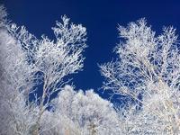 霧氷。 - 乗鞍高原カフェ&バー スプリングバンクの日記②