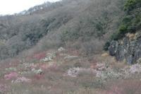 城山の梅(良)2月21日撮影 - 野山の花たち