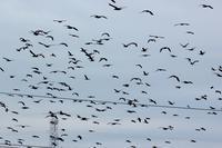 カワウの群れ - 暮らしの中で