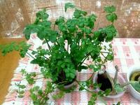 ☆セリの水栽培・2ヶ月も☆ - ガジャのねーさんの  空をみあげて☆ Hazle cucu ☆