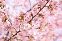 桜咲いて 桜乃 - 立川は Ecoutezbien  えくてびあん