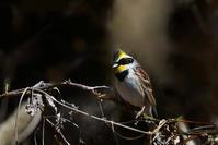 黄色い鳥さん2種〜ミヤマホオジロマヒワ - 鳥さんと遊ぼう