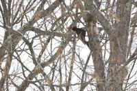 嫁か、、腹ペコか切ない鳴き声 クマゲラ - ノラニンジンの咲く庭