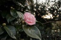 庭のツバキをG1XMarkⅢで撮る - 田舎もんの電脳撮影日記