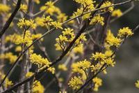 ■黄色い花が18.3.7(サンシュユ、ヒイラギナンテン、ミツマタ) - 舞岡公園の自然2