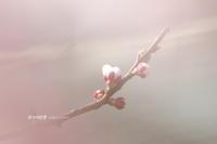 待ち焦がれた「白梅」 - 花々の記憶  happy momo