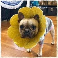 フレブルのざらめくん♪ - ハンドメイドのエリザベスカラー ★☆お花エリカラ☆★