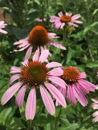 「さいたまのハーブガーデンから学ぶ英国式ハーブ療法コース」プレ講座のお知らせ - 英国認定メディカルハーバリストのブログ /        Medical Herbalist's Blog