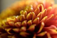 ダリアの花 - 旅のかほり