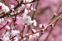 長居植物園の梅の花@2018-03-06 - (新)トラちゃん&ちー・明日葉 観察日記