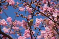 河津桜(2) @伊勢崎市 (撮影日:2018/3/6) - toshiさんのお気楽ブログ