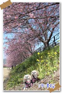 2018年2月24日 河津桜@河津町 - 週末は、愛犬モモと永吉とお出かけ!Kimi's Eye