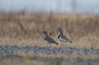 雨の日は田んぼ巡りの探鳥を - 私の鳥撮り散歩