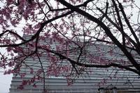 成城学園駅前の桜 - もるとゆらじお