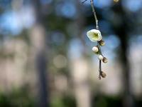 静かに語る春告草 - yohira's photo diary