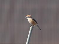 菜園のモズ - コーヒー党の野鳥と自然 パート2