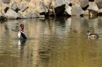 珍鳥の競演メジロガモのパタパタを見つめるクビワキンクロ - 野鳥公園