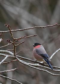 アカウソ - 今日も鳥撮り