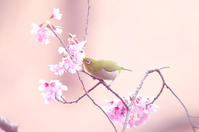 寒緋桜にメジロ1 - 生きる。撮る。