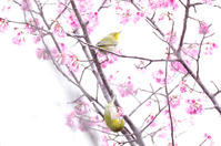 寒緋桜にメジロ2 - 生きる。撮る。