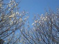 梅と菜の花 3/10 - つくしんぼ日記 ~徒然編~