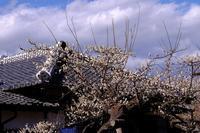 冬至梅屋根を覆う - MAKO'S PHOTO