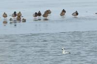 パンダガモ - ひとり野鳥の会