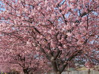 三浦海岸の河津桜 - 百寿者と一緒の暮らし