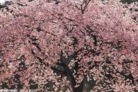新宿御苑・満開の修善寺寒桜 - 四季彩の部屋Ⅱ