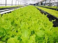 美味しいサラダ食べてますか?農薬を一切使用しない「水耕栽培の生野菜」大好評発売中! - FLCパートナーズストア