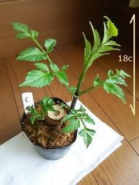 """""""皇帝ダリア""""挿し木に挑戦!! その4 - 健気に育つ植物たち"""