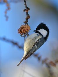 ヒガラ - 北の大地で野鳥ときどきフライフィッシング