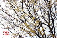 黄色い樹の花 - ジージーライダーの自然彩彩
