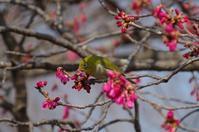 寒緋桜とメジロ - 季節の風を追いかけて